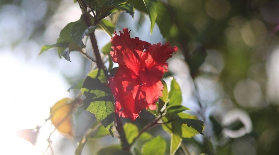 hoa râm bụt trong nắng